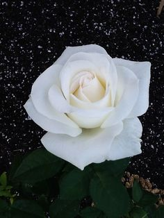 Hybrid Tea rose 'Miss Kitty', Discovered by Kitty Belendez (United States, 2007)