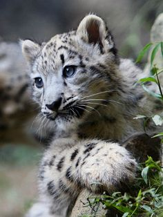 Snow Leopard Cub Adoption. Help protect a snow leopard cub living in the wild! www.snowleopard.org
