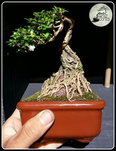 Bonsai Ficus, Mame Bonsai, Bonsai Art, Bonsai Plants, Bonsai Garden, Bonsai Trees, Bonsai Forest, Bedroom Plants, Ikebana