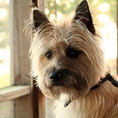 Cairn terrier 4
