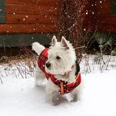 Pretty much the least photogenic dogs of all time. | 29 Pictures That Prove You Should Never Own A Westie
