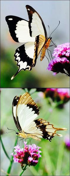borboletas - Pesquisa Google