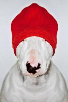 Bull terrier in hat.