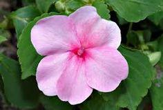 Resultado de imagen de flor impatiens
