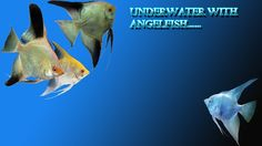 Going underwater with angelfish |DW Aquatics