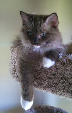 Seal Mitted Sepia Mink Ragdoll