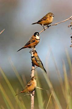 coleiro ou coleirinho do brejo_sporophila collaris Brazilian Birds