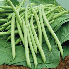 Phaseolus vulgaris; French bean; Epigeal germination; Orthodox (dry) seed; Vegetable from seed