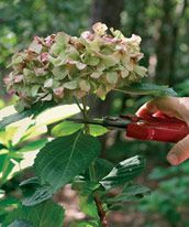 Pruning Hydrangeas....