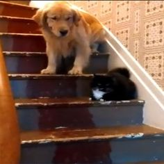 WOOF WATCH: Dog Spooked By Scary Cat | WOOFipedia by The American Kennel Club