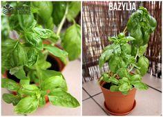 zioła na balkonie jak hodować pielęgnować rośliny balkonowe zioła w mieszkaniu w mieście poradnik book me a cookie (1)