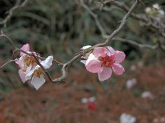 Chaenomeles japonica blooms in the Japanese Gardens in February