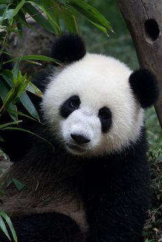 panda sanctuary 2 china by joe.pan