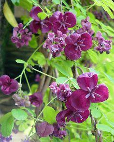 Akebia Quinata - Chocolate Vine Seeds HP | eBay Vine Tattoos, Clematis Vine, Flowering Vines, Bright Purple, My Secret Garden, Artist At Work, Garden Plants, Flower Power, Planting Flowers