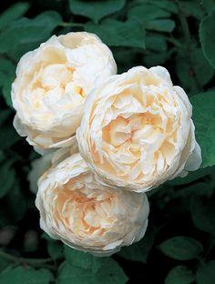 Buy rose Glamis Castle (shrub) Rosa 'Glamis Castle = 'Auslevel' (PBR)': Delivery by Crocus.co.uk