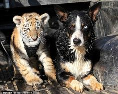 Border collie Solo and tiger cub inseparable at Seaview Lion Park, Port Elizabeth, SA