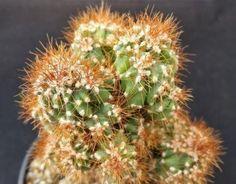 Orange Fruit, Live Plants, Planting Succulents, White Flowers, Roots, Cactus, Bloom, Green, Pictures