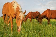 These quarter horses are busy shortening the grass in this pasture in Colorado. It is a great summer job for them. Palomino, Photography Website, Amazing Photography, Horse Artwork, Year Of The Horse, Summer Jobs, Art Friend, Gifts For Horse Lovers, Custom Canvas