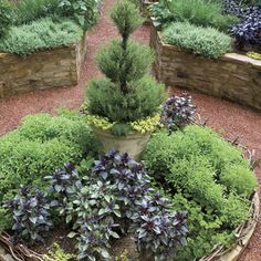Rosemary Topiary - Add some height to the center of a flowerbed by placing a very vertical potted plant in the middle. Here, a potted rosemary topiary rises above the other edibles in this bed.