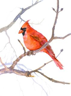 Cardinal bird (original watercolor painting)