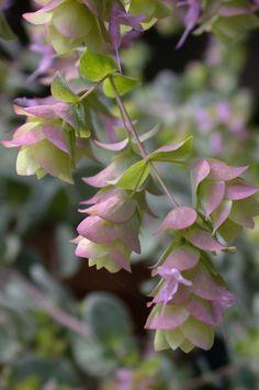 dittany / hop marjoram (origanum dictamnus)