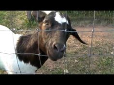 #goatvet likes this video showing how Anne, the Goat Makes A Hammock from her shade sail.
