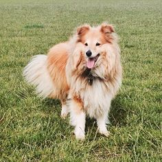Hop on over to the blog today to see what me and this little ginger fluff ball thought of last month's Pawsome Box  #dogsofinstagram #cute #adorable #sheltie #shetlandsheepdog #sheltiesofinstagram #dog #instadogs #pawsomebox