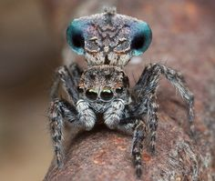 These 7 New Species of Adorable Little Peacock Spiders Will Make You Go 'Aww' Weird Insects, Cool Insects, Bugs And Insects, Beautiful Creatures, Animals Beautiful, Spider Species, Real Spiders, Funny Animals, Cute Animals