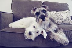 Camera Hog by Melissa Heard #Miniature #Schnauzer
