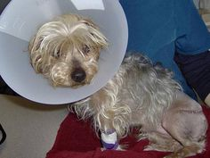 Yorkie Needs Help Paying for Life-Saving Surgery After He Survives Hit and Run