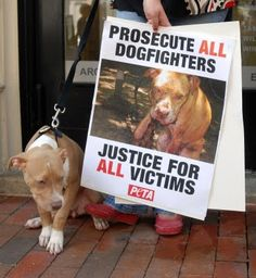 This is a picture of one of Michael Vick's infamous fighting dogs that was rehabilitated and is now a therapy dog. The picture on the poster (while it is endorsed by PETA... gross) is how the authorities found him. My full pitbull is also a registered therapy dog! He hangs out with kiddos with autism all day. How can people want to euthanize something with that much love and patience?