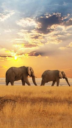 Elephants on the move in Africa.