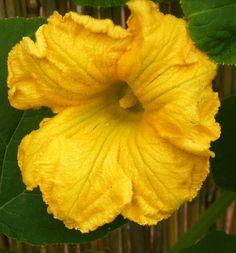 gele pompoen bloesem
