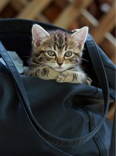 "Aw this looks like my kitty! He says ""I wonder where Mom's going today and if she'll notice me in her bag..."" lol"