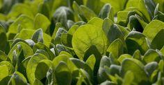Fantástico! Como o consumo do espinafre pode trazer benefícios a sua saúde - #