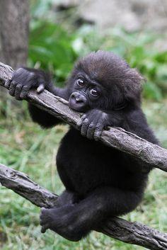 Teething Gorilla