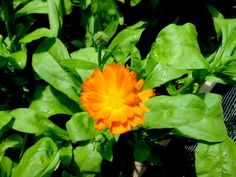 Calendula officinalis is one of the best skin-care herbs ever! It's easy to grow and blooms prolifically from summer to frost in sunny yellows, oranges, and even reds and maroons. Calendula is antiviral, antibacterial, antifungal, antiseptic, and anti-inflammatory. It promotes skin regeneration, minimizes scar tissue, is an excellent skin moisturizer,and helps heal rashes, burns, sores, ulcers and skin problems associated with radiation therapy. It also works wonderfully as a massage oil