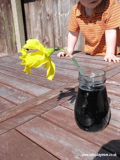 """Toddler Science - looking at how plants transport liquids using a """"picked"""" flower from the spring garden"""