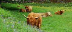 Hochland Rinder im Trossachs Nationalpark