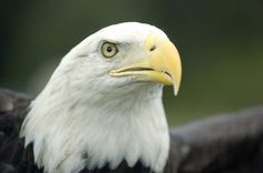 Bald eagles are seen through the region; National symbol recovered from endangered list