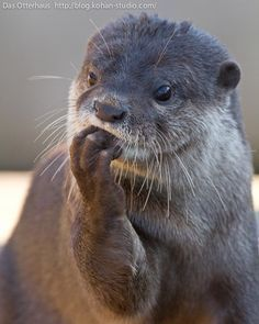 A poem from Zsa Zsa: Otters are our aquatic equivalent.  (As a former Otter Spotter, this is to love.)