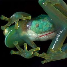 Transparent or Glass Frog! Wow Beautiful ♥  Glass frog is the common name for the frogs of the amphibian family Centrolenidae (order Anura).
