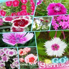 Jardim Mix cores Dianthus sementes de flores 100 pçs/saco, William doce casa jardim Bonsai sementes de fácil cultivo de germinação de 95% grátis Sh alishoppbrasil