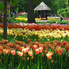 What would a spring time visit to Holland be like without a trip to #Keukenhof Flower Park? Deprived we say ! Why not hop aboard a coach in central Amsterdam and travel there this April. Search 'CityXplora Keukenhof'  to book. #KeukenhofGardens #FlowerFields #Holland #IgHolland #VisitHolland #Amsterdam #Tulips #TulipSeason #Leiden #Haarlem #iamsterdam #Springishere #Flowergram #Flowerstagram