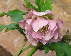 -neuer Gartentraum- #Helleborus x Orientalis Frilly Kitty