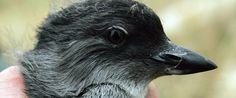 Pacific Coast Sea Bird Die-Off Puzzles Scientists