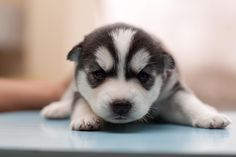 Siberian Husky For Adoption - PetSale Inc