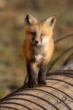 Red Fox Kit by Nate Zeman