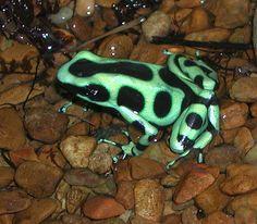 Dendrobates stratus-Green and Black Dart-poison Frog