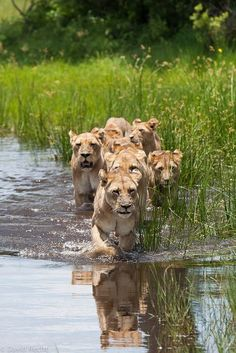 Lions On The Hunt (by David Recht)
